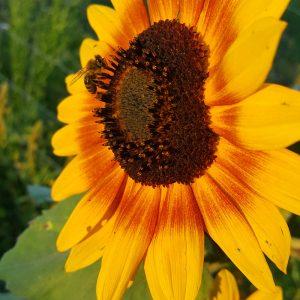 Sunflower 20 Tips for a Bountiful Garden